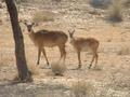 #7: Two antelopes