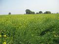 #5: Mustard fields near the confluence