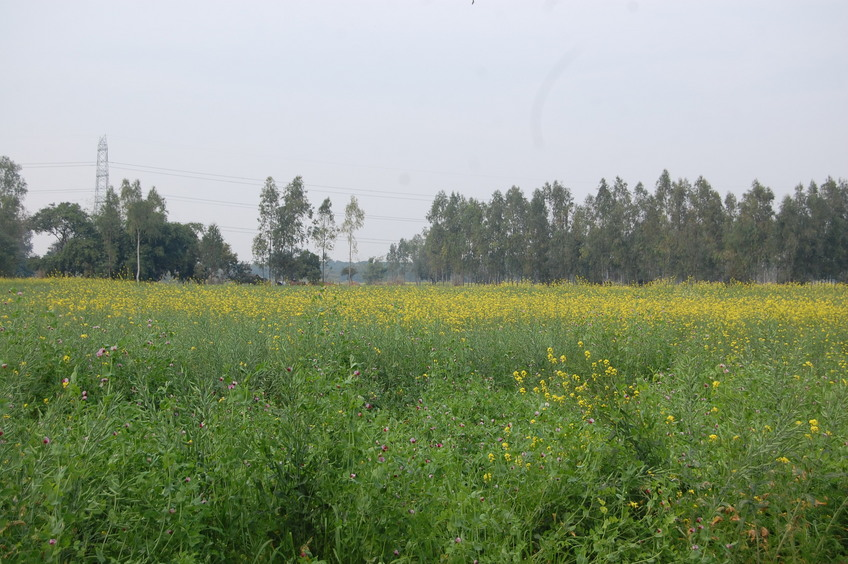 Yellow fields of Mustard
