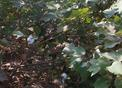 #7: The other main crop near the confluence is cotton.  Close up of some cotton plants.
