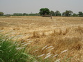 #3: Wheat growing near the CP