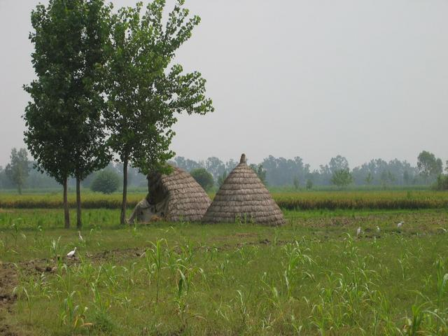 Irrigated fields with haystacks and egrets