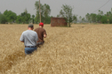 #4: Doug and Sam walking through the wheat