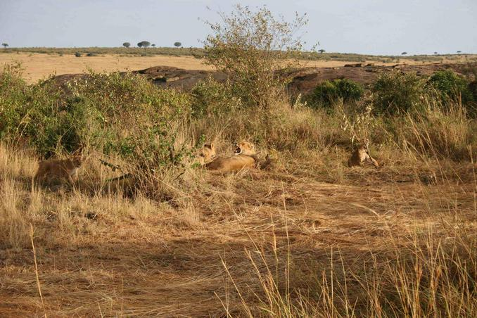 One fifth of the Big Five: Lions