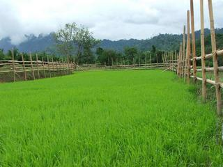 #1: the rice field