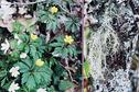 #10: White and yellow anemones and Old Man's beard (Usnea hirta) lichen