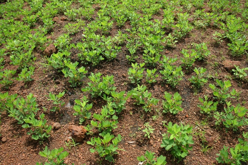 The groundnut plants