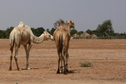 #8: Camels and others watch our lunch