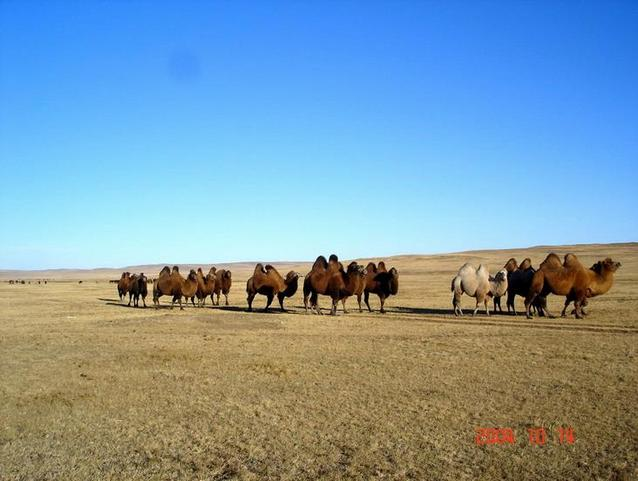Camels near by