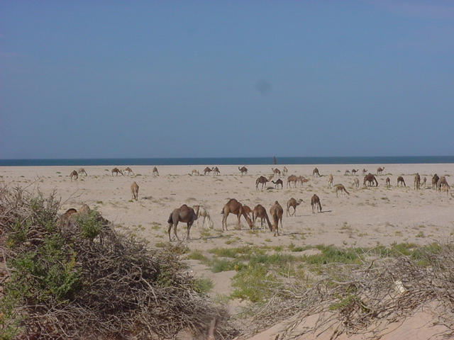 A herd of camels on the beach near the Confluence