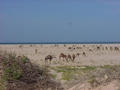 #4: A herd of camels on the beach near the Confluence
