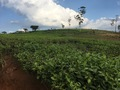 #11: Nearby tea plantations