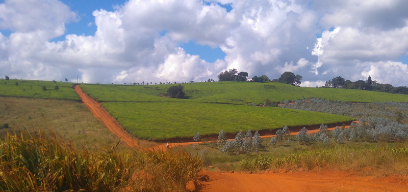 View of tea plantations with red road