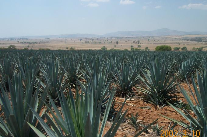 Nearby Agave Field