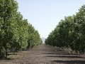#10: Nogalera. Walnut plantations
