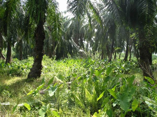 In the middle of the oil plantations