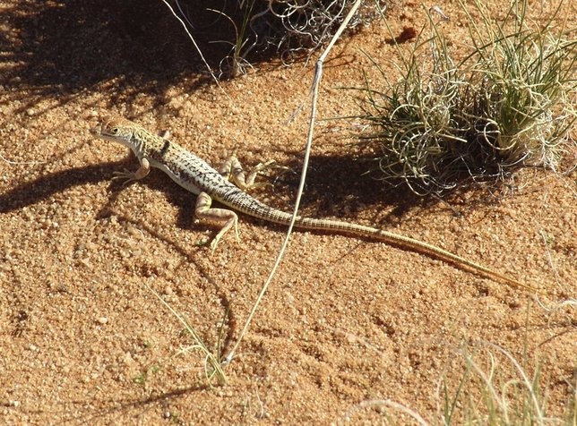 A Wedge-snouted lizard