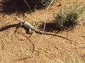 #11: A Wedge-snouted lizard