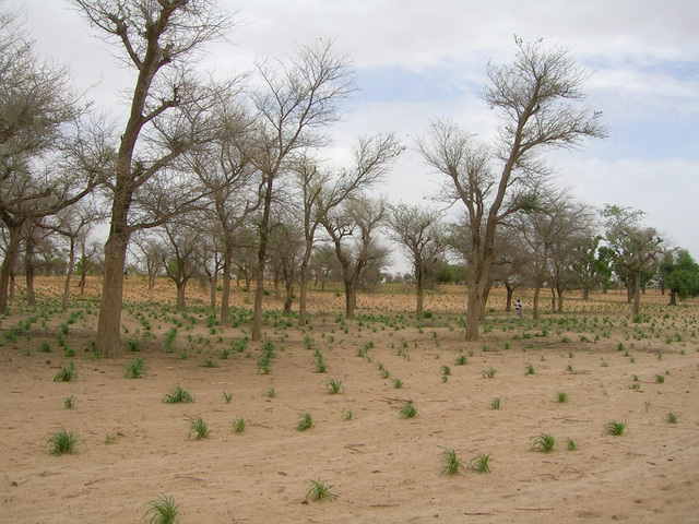 The emerging millet crop in fields near the Confluence