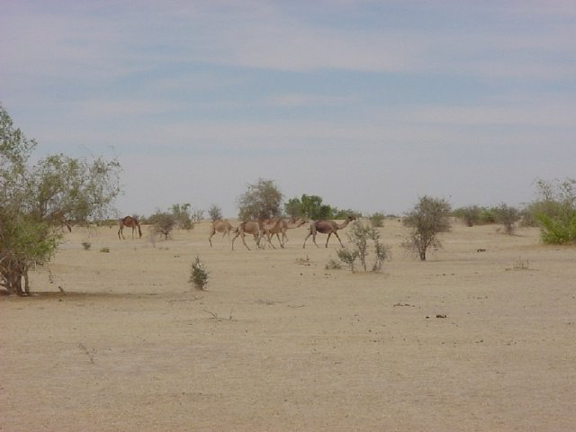 A herd of camels passing to the north of the Confluence