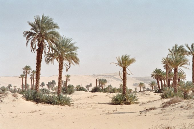 Date-palmtrees in Fachi.