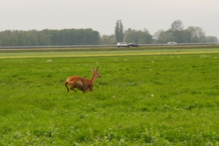 Roe-deer escaping in the grass