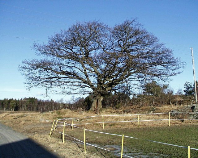 Old oak tree at Haugane farm