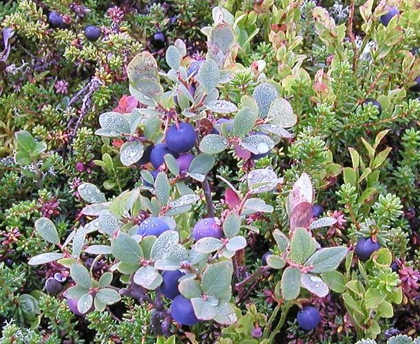 Blueberries growing above 1100 m