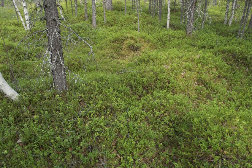 The confluence point lies on mossy ground in a thinly-spaced forest