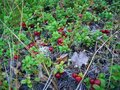 #7: Red whortleberries
