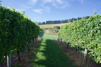 #1: The confluence point lies between two rows of grapevines, in a vineyard. (This is also a view to the North.)