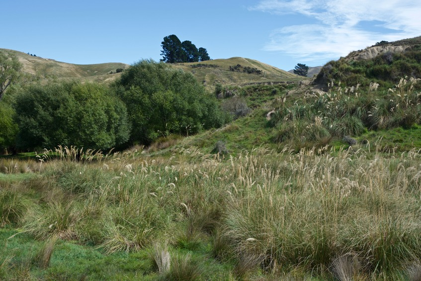 A large patch of native Toetoe grass, growing near the road, less than 500 m from the point
