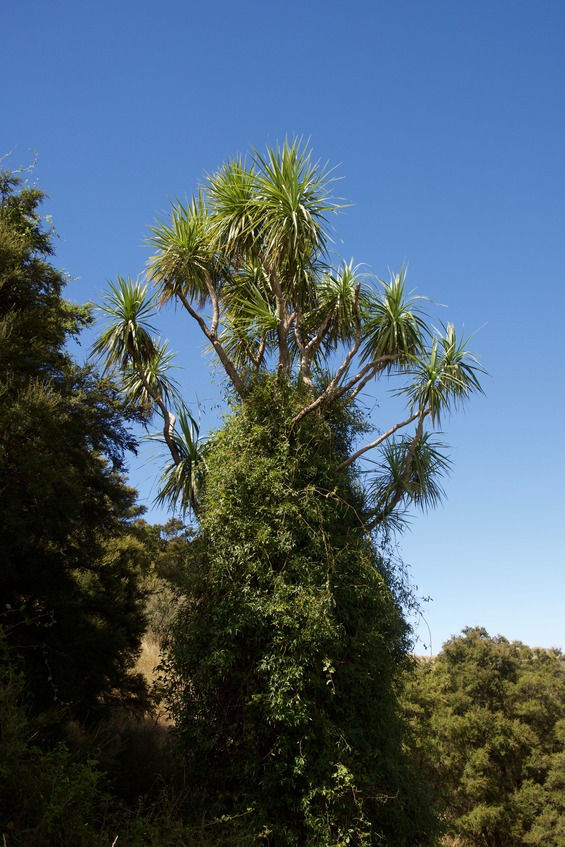 The prominent (vine-covered) Cabbage Tree, just southeast of the point