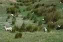 #9: Sheep grazing in another farm field near the point