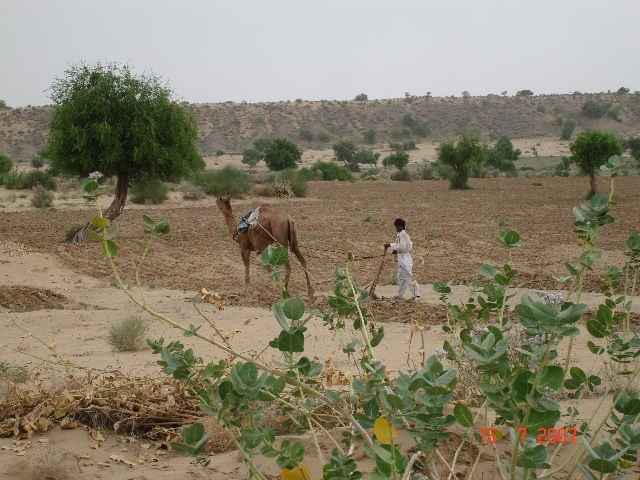 Plowing with camel in desert area
