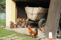 #8: Happy chicken living right in the confluence barn