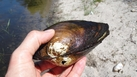 #9: Large mussel