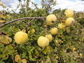#5: Aromatic Quinces in the field hedge