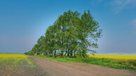 #7: rapeseed with rows of birch trees to fight erosion of soil