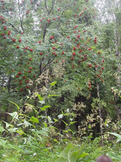 Рябина кудрявая  (Lush European Mountain-Ash  tree)