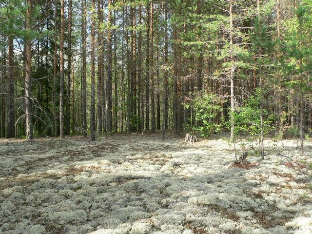 General view, the field with reindeer moss near the CP