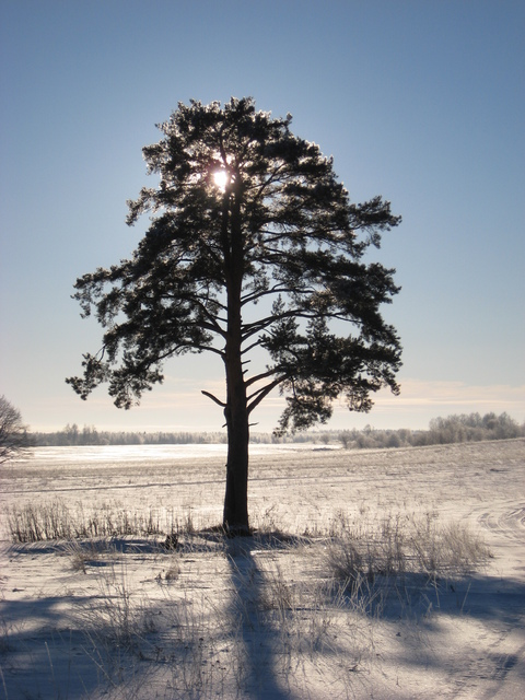 Lonesome pine