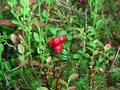 #8: Red whortleberries at the confluence