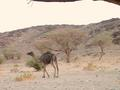#4: Camel – Somehow the camels eke out an existence in these barren lands.