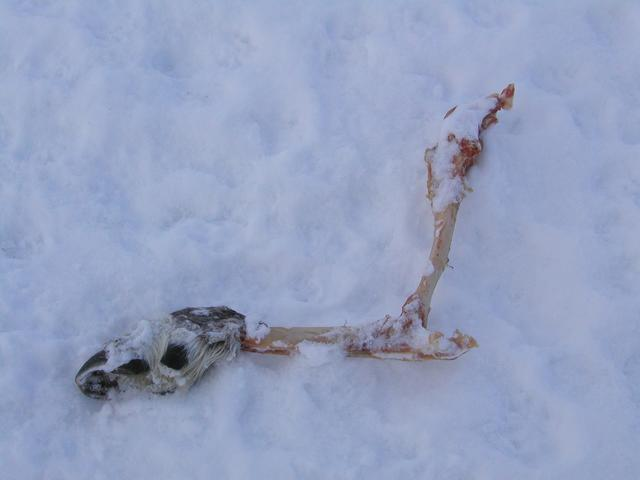 Reindeer leg left by polar bear