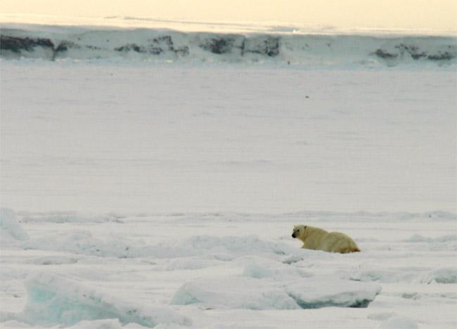 Polar bear, about 500m west of the confluence