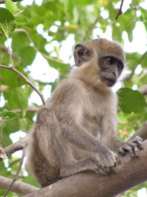 The green monkey is common in the riverine forests