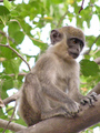 #10: The green monkey is common in the riverine forests