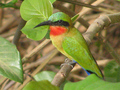 #12: The Red-throated bee-eater is one among many colorful birds in the Park