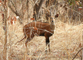 #9: A bushbuck, with its distinctive markings